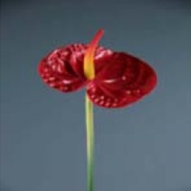 ANTHURIUM MEDIO AL PZ RED GREEN